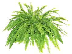 This low-maintenance plant is a good choice for people who want a no-fuss, lush look in their home. Boston ferns mainly need a cool place, with high humidity and indirect light. If you can manage those three basic needs, you'll have a green friend for years.Is it safe for cats and dogs? The ASPCA says yes.