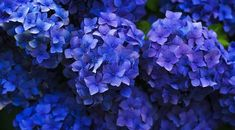 New No Cost Funeral Flowers hydrangea Ideas If you might be arranging or perhaps joining, funerals will always be a sad and often nerve-racking occasion.