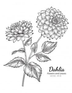 Dahlia Flower Tattoos, Purple Dahlia, Paper Dahlia, Flower Sketches, Floral Drawing, Botanical Illustration, Drawings, Flowers, The Jungle Book