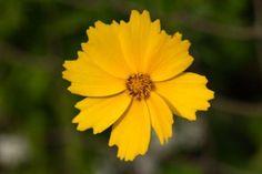 Coreopsis, Lance-leaf  Coreopsis lanceolata www.gottinyseeds.com