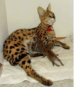 savannah cats for sale | ... ocelots and savannah kittens for sale rated Rating: 7.9 by 106 members