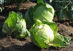 Как вырастить экологически чистый урожай капусты — секреты опытных огородников