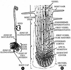 for Class 11 Biology Chapter 15 Internal Structure of Root