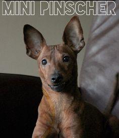 Miniature Pinscher ❤️