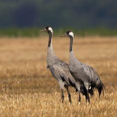 Vroege Vogels Twee Kraanvogels Willem de Wolf