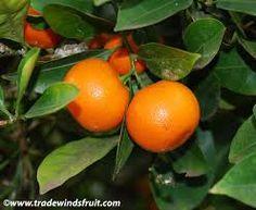 Calmondin citrus