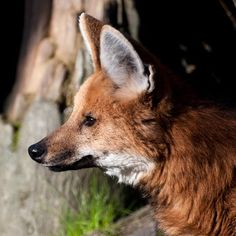 The beautiful maned wolf. These handsome animals are fun to watch. Canine mischief with almost cat-like grace.