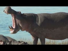 The Shit Hit The Fan!  Hippo roar like a huge cow mooing, than end his speech with a fart.  Funny hippopotamus Fart comes right after the hippo moo, making this video priceless :)