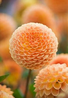 DAHLIA 'BLYTON SOFTER GLEAM' - How to plant, grow, and care for dahlias by The Old Farmer's Almanac