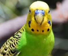 導讀:不少人誤以為虎皮鸚鵡不會說話,但他們都誤會了,其實牠是會講話的,而且訓練牠需要有方法跟技巧,可見訓練一隻鸚鵡會說話真的很不簡單,下面就讓我們來為大家介紹如何讓虎皮鸚鵡說話。