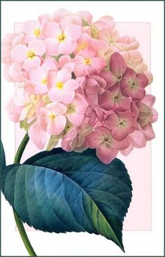 Цветочные акварели Пьера-Жозефа Редуте (Pierre-Joseph Redoute)