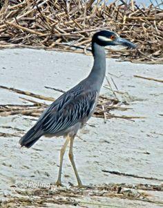 Yellow-crowed Heron, Hilton Head Island, SC