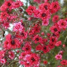 Leptospermum+Rojo+Flor.JPG