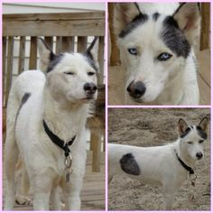 Ellice is a beautiful female, PieBald, Siberian Husky. This beauty is as loving as they come! She is sweet, loves people, good with dogs and kids, but has never been around cats, so that status is currently unknown.