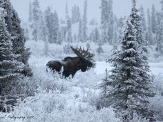 Alaska Photo Mosaic - Entry Sabra Neyman Lake Louise, AK His Majesty the magnificent Alaskan Bull Moose seen from Lake Lo Moose Hunting, Bull Moose, Moose Art, Pheasant Hunting, Turkey Hunting, Archery Hunting, Moose Pictures, Image Nature, Deer Family