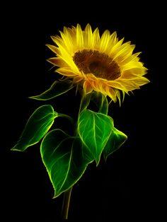 Sunflower by Zdenek Novak
