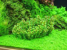 Rotala Indica sp Bonsai Information and Caresheet Ammania sp bonsai for sale - AquaticMag (6)