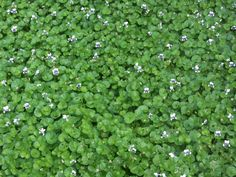 Viola hederacea to pool ornamental garden beds Woodland House, Garden Boxes, Planting Flowers, Beds, Projects To Try, Backyard, Plants, Google Search, Wall