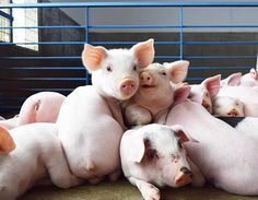 Did your mom ever tell you your room looked like a pig sty? Pigs are one of the cleanest animals, and often times establish a community toilet area. Cute Creatures, Beautiful Creatures, Animals And Pets, Cute Animals, Teacup Pigs, Barnyard Animals, Mini Pigs, Cute Piggies, Young Animal
