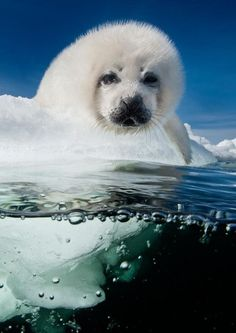 A harp seal pup called a whitecoat patiently waits for its mother to return in the Gulf of St. Lawrence, Canada. Pups are born on the ice in late February and nursed for 12 to 15 days until their mother abandons them to mate and migrate. The pup,...