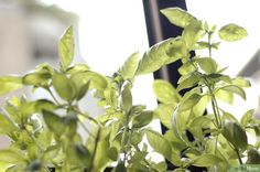 How to Grow an Herb Garden Indoors Year Round: 7 Steps