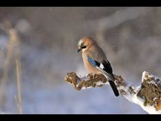 Free Image on Pixabay - Jay, Bird, Animal, Perched Jay Bird, Blue Bird, Milan Royal, Pigeon Ramier, Pet Shop Online, Bird Identification, Bird On Branch, Winter Photography, Bird Watching
