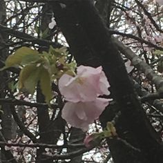さくら 平野神社 「車返し」