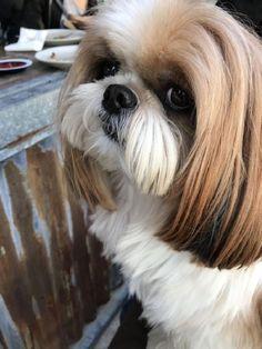 best picture ideas about shih tzu puppies - oldest dog breeds Shih Tzus, Shih Tzu Hund, Chien Shih Tzu, Perro Shih Tzu, Shih Tzu Puppy, Shitzu Puppies, Cute Puppies, Dogs And Puppies, Cute Dogs