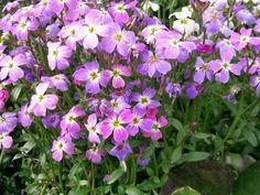 Conseils de semis et d'entretien de la julienne de Mahon, une petite plante annuelle fleurie pour massifs et bordures.