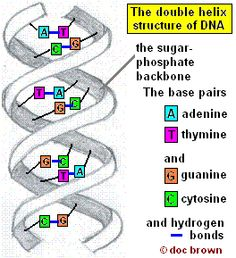27 best gcse biology revision images on pinterest cell biology diagram of the double helix structure httpdocbrownfo ccuart Images