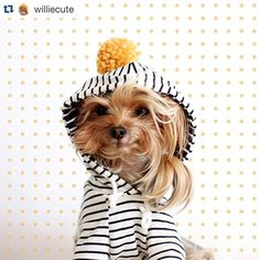 @williecute looking willie willie cute in our off white stripe hoodie!! Happy Tuesday!! . #bubblebrint #dogclothes #dogfashion #dogwear #dogapparel #hipsterdog #doghoodie #yorkie #yorkiesofinstagram #dogsofinstagram #instadog #petstagram #dailyfluff #buzzfeedanimals #Repost @williecute with @repostapp. ・・・ Ready for Sunday Funday!