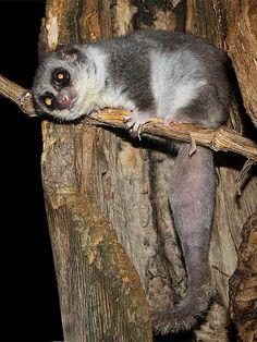 westlicher fettschwanz maki fat tailed dwarf lemur cheirogaleus medius flickr