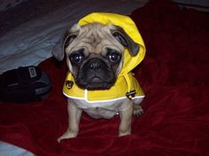 Pug wearing a raincoat!