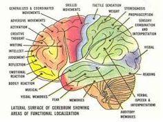 Image result for brain diagram