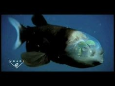 Stupendous.. Fish with transparent HEAD..!! - Vine Hour - Let`s vine!