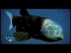 Stupendous.. Fish with transparent HEAD..!! - Vine Hour - Let`s vine!