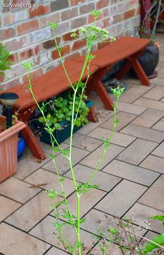 Petroselinum crispum - Wild Parsley - Edible Weeds and Bush Tucker Plant Foods
