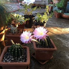 Our Italian terracotta planters come in all shapes and sizes. I love smaller containers especially with these cacti!