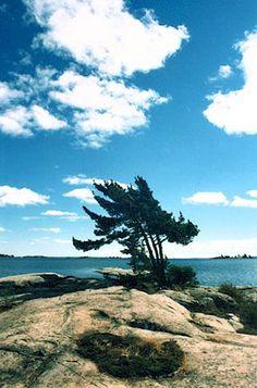 Georgian Bay pine tree
