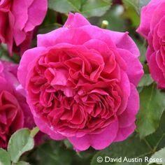 Pflanzen-Kölle Englische Rose 'Munstead Wood' (Ausbernard) David Austin.  Eine der schönsten Englischen Rosen mit nostalgisch gefüllten, intensiv duftenden Blüten in seidigem Karmesinrot.