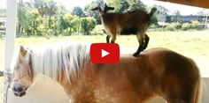 Definitive Proof That There's Nothing More Hilarious Than Goats Riding Horses  - CountryLiving.com