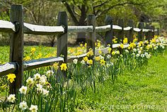 I love daffodils along a fence.; I want to do this along our picket fence, but with yellow coreopsis