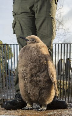 The King Penguin chick is prepared for the cold winter weather- although it must still avoid the water until its adult plumage comes through King Penguin, Emperor Penguin, Bourton On The Water, Flightless Bird, Two And A Half, Four Legged, Weather, Birds, Cold