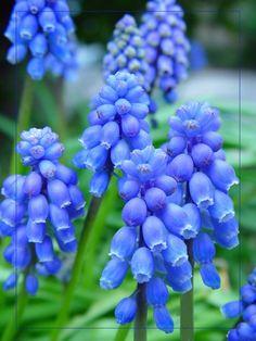 Common Grape-Hyacinth