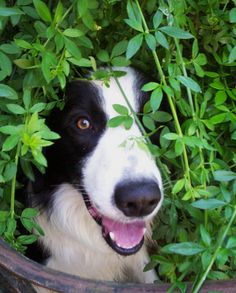 Border Collie!