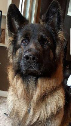 German shepherd.....simply beautiful. More #GermanShepherd
