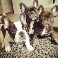 Wink! 3 French Bulldog Puppies. ~ re-pinned by bulldogpersonalchecks.com
