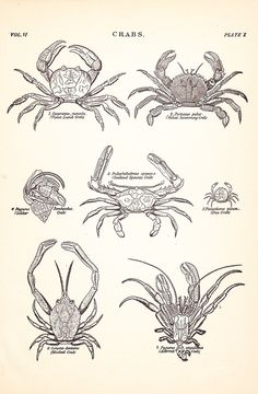 1901 Crustacean Animal Print - Crabs - Vintage Antique Home Decor Art Illustration for Framing 100 Years Old. $15.00, via Etsy.