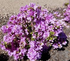 All about #azaleas: Keeping the popular plants healthy and blooming