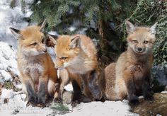 Triple sweetness 365 days fox marathon Day 204 #365daysfoxmarathon #photography #wildlife